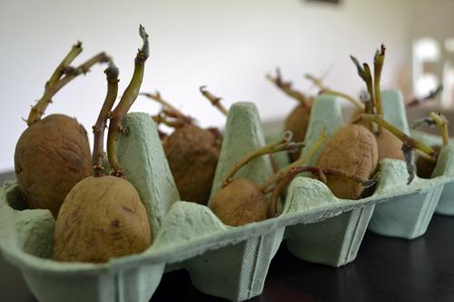 Chitting Marilyn Salad Potatoes