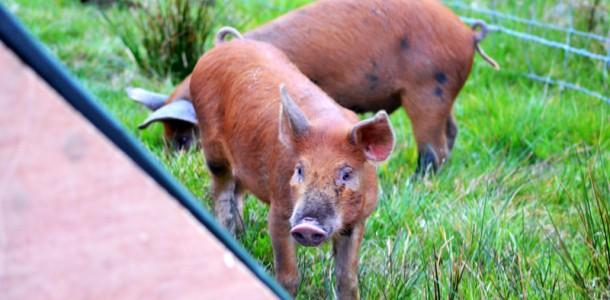 start-of-pig-adventure