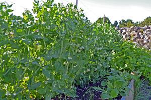 peas growing in garden