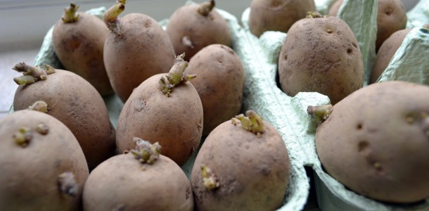 Chitting Potatoes