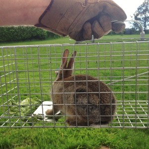 Capturing rabbits in the garden for re-release