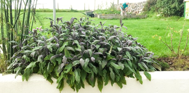 How To Dry Out Sage Leaves
